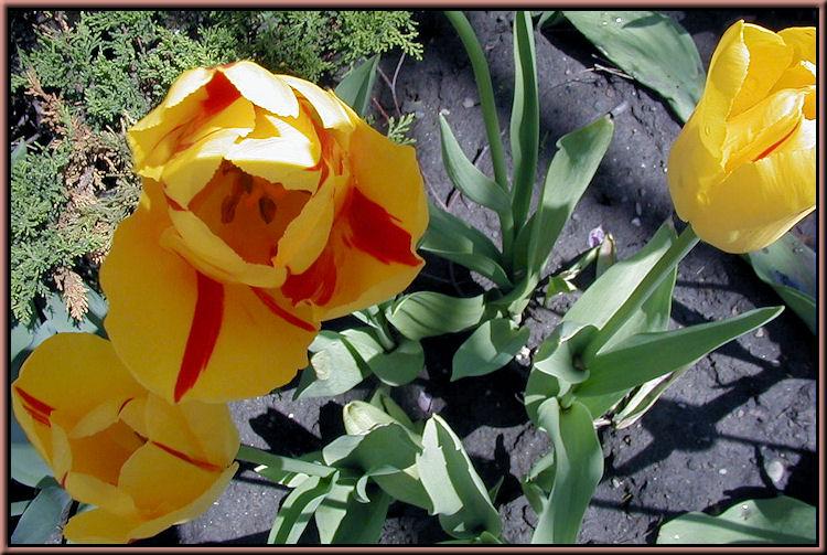 Osgoode Hall Tulips